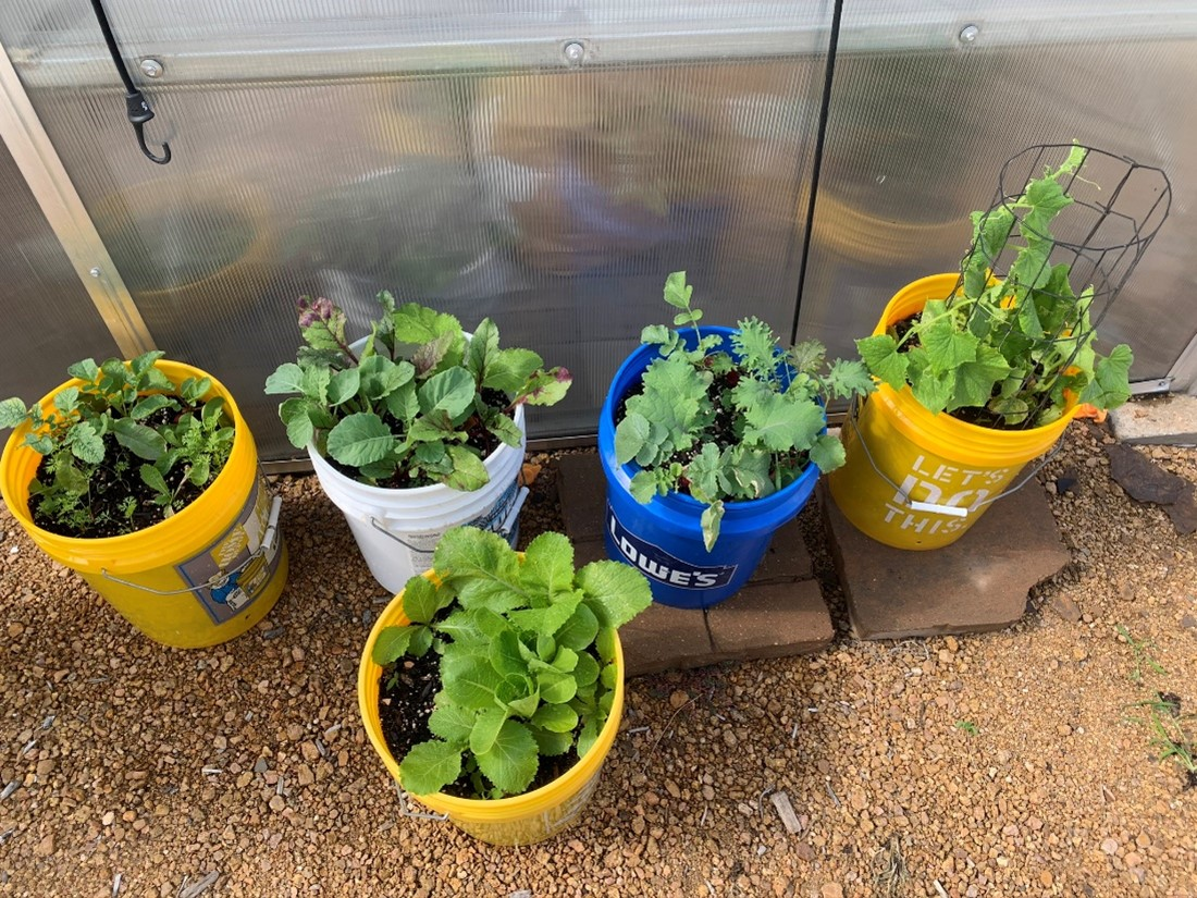 Plants in large containers in the garden.